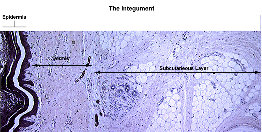describe the types of epithelial and connective tissue found in the epidermis and dermis of the skin The layers of the skin include: (1) an outer layer of stratified squamous keratinized epithelium, the epidermis and (2) an inner layer of dense irregular connective tissue, the dermis these two layers sit upon the subcutaneous tissue, which is composed of loose connective tissue, adipose tissue, and dense connective tissue ( skin .